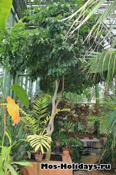 Цитранелла. В тропической оранжерее Ботанического сада МГУ на Проспекте Мира
