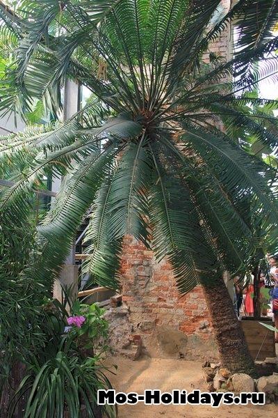 Саговник. Ботанический сад МГУ