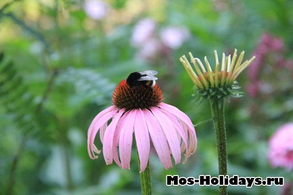 Пчела на цветке в Ботаническом саду МГУ