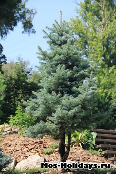 Маленькая елка в Аптекарском огороде на Проспекте Мира