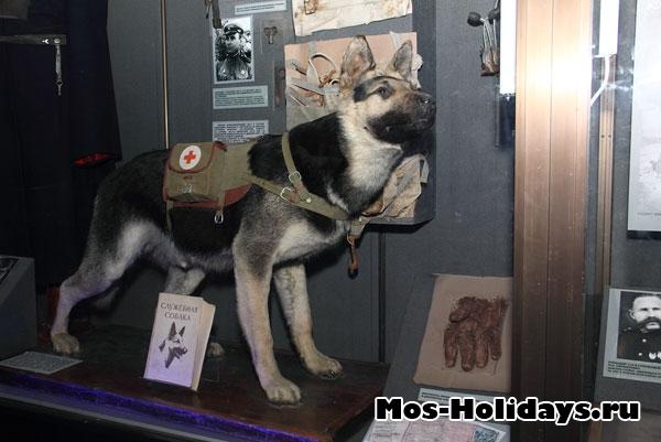 Чучело собаки в Центральном музее вооружённых сил