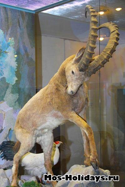 Горный козёл в Дарвиновском музее