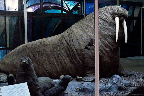 Гигантский морж в Дарвиновском музее