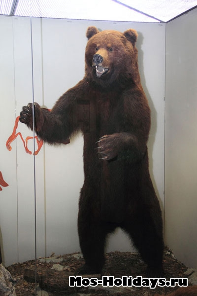 Бурый медведь в Дарвиновском музее