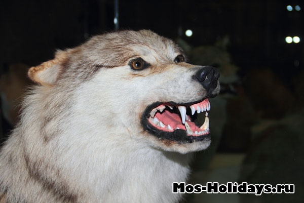 Волк на втором этаже музея Дарвина