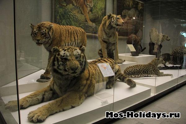 Тигры на втором этаже музея Дарвина