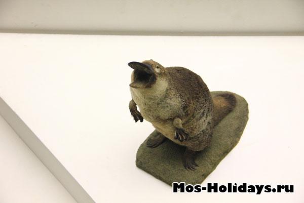 Утконос на третьем этаже музея Дарвина