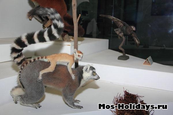 Лемуры на третьем этаже музея Дарвина