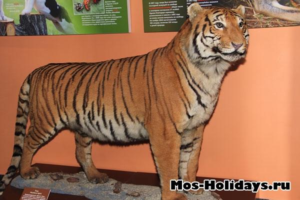 Тигр в выставочном комплексе музея Дарвина