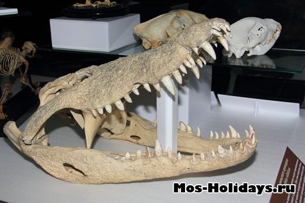 Челюсти крокодила в выставочном комплексе музея Дарвина