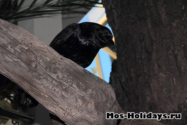 Ворон в выставочном комплексе Дарвиновского музея