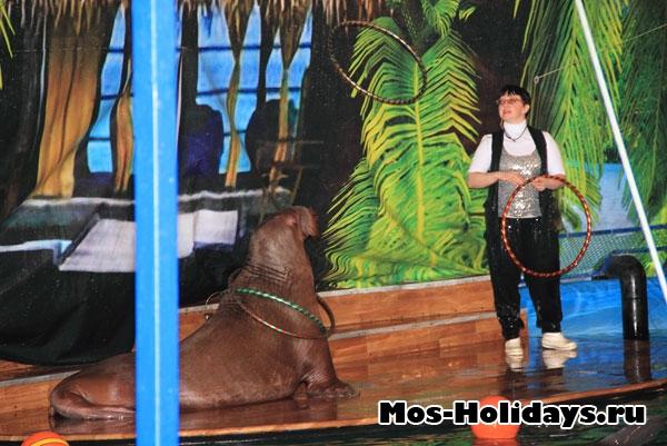 Моржиха ловит обручи. Фото с дельфинария на ВВЦ