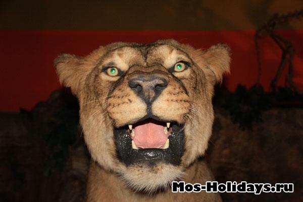 """Пещерный лев в музее """"Ледниковый период"""""""