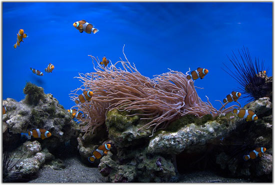 Рыбки клоуны в океанариуме на Чистых прудах