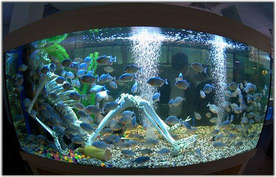 Пираньи в океанариуме на Чистых прудах