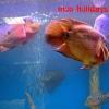 Красивая оранжевая рыбка
