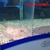 Морские скаты