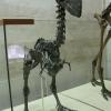 Скелет нелетающей птицы диатримы в Палеонтологическом музее