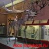 Скелет гигантского олень в Палеонтологическом музее