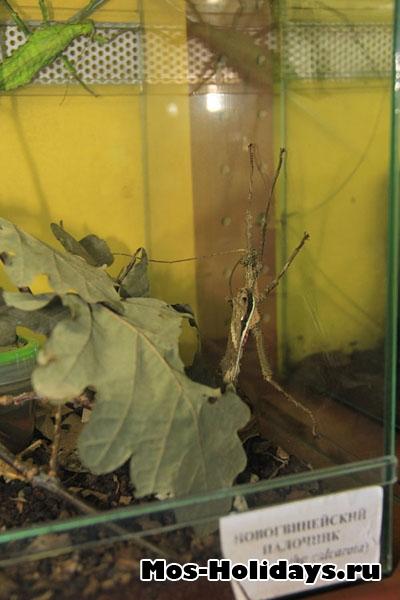 Новогвинейский палочник на выставке бабочек на ввц