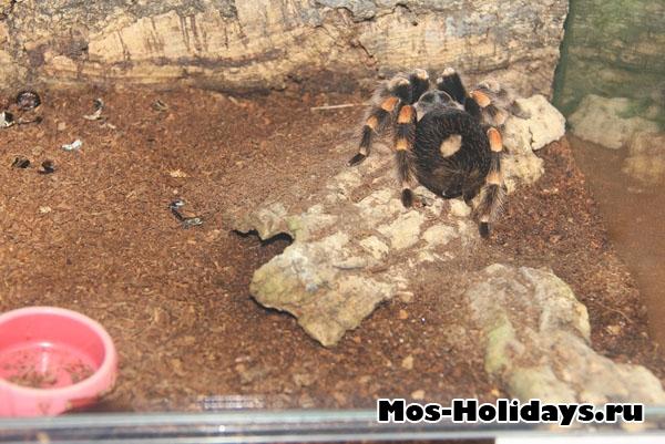 Мексиканский красноколенный паук-птицеед с выставки тропических бабочек на ВВЦ