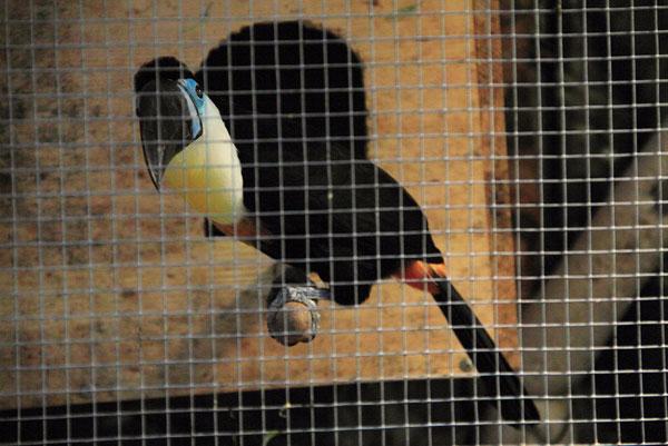 Тукан на выставке экзотических птиц на ВВЦ