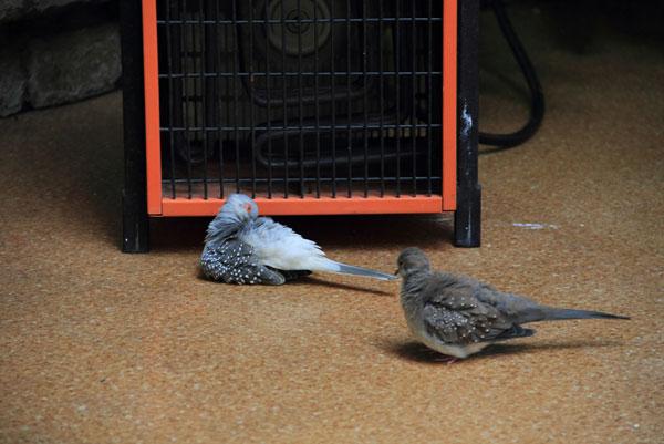 Птицы греются возле обогревателя на выствке экзотических птиц на ввц
