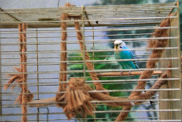 Волнистый попугай с выставки экзотических птиц на ВДНХ