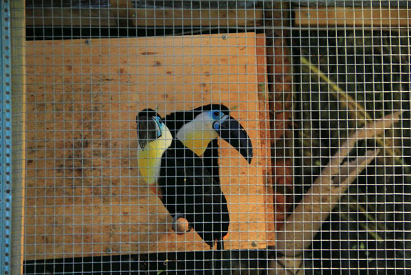 Туканы с выставки экзотических птиц на ВВЦ