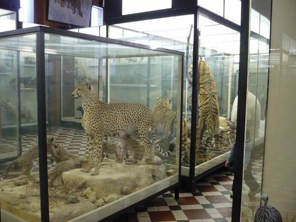 Большие кошки в Зоологическом музее МГУ