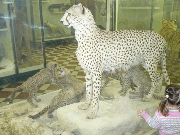 Гепард в Зоологическом музее МГУ