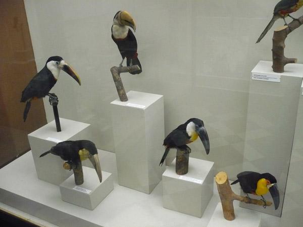 Туканы в Зоологическом музее МГУ