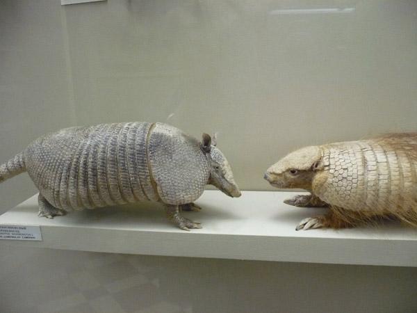 Броненосцы в зоологическом музее МГУ