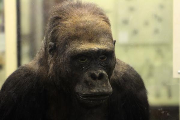 Горилла в Зоологическом музее МГУ