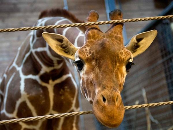 Жираф в московском зоопарке