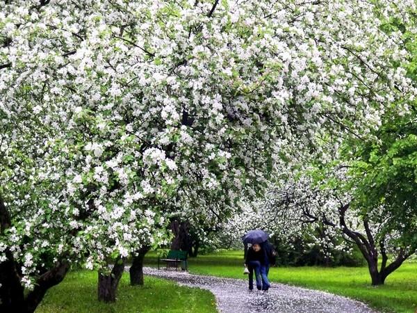 Яблони в парке Северное Тушино