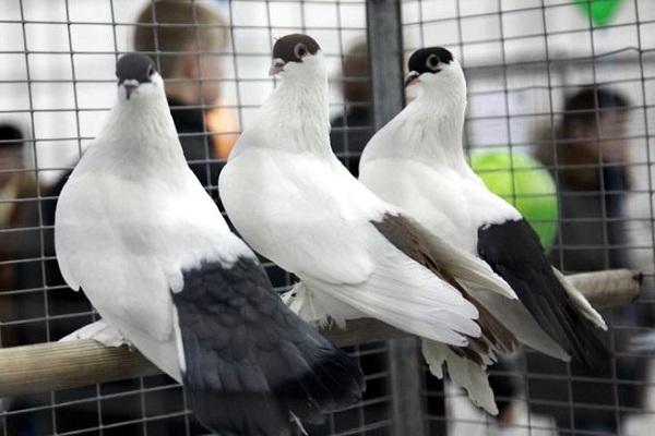 Выставка голубей «Мы вместе»