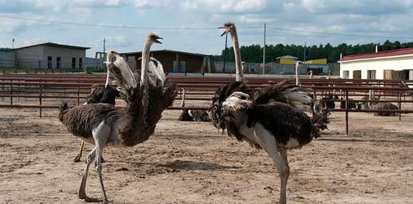 Экскурсия-квест на подмосковную ферму «Русский страус» для детей и взрослых.