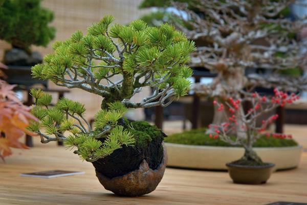 Выставка японских бонсай «Искусство бонсай»