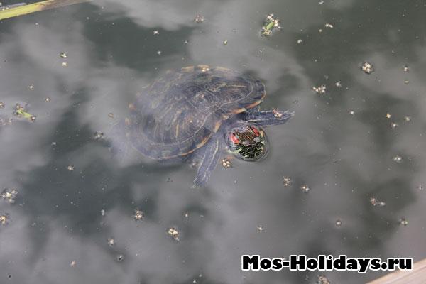 Красноухие черепахи в аптекарском огороде МГУ на Проспекте Мира