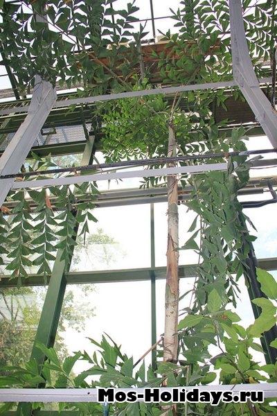 Пальма рыбий хвост. В тропической оранжерее Ботанического сада МГУ на Проспекте Мира