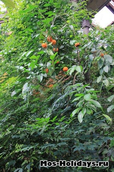 Мандарины в Ботаническом саду МГУ на Проспекте Мира