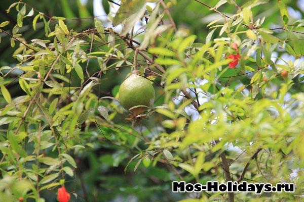 Плод граната в субтропической оранжерее Аптекарского огорода на Проспекте Мира