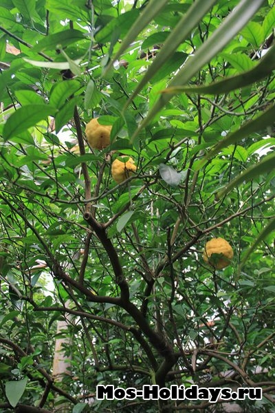 Плоды бергамота в субтропической оранжерее Ботанического сада на Проспекте Мира