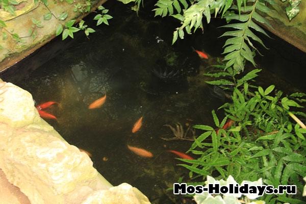 Маленькие золотые рыбки в субтропической оранжерее Ботанического сада МГУ