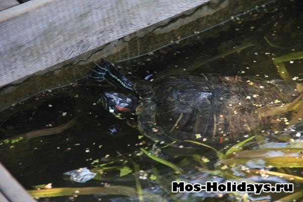 Черепаха пытается выбраться из своего пруда. Аптекарский огород МГУ на Проспекте Мира