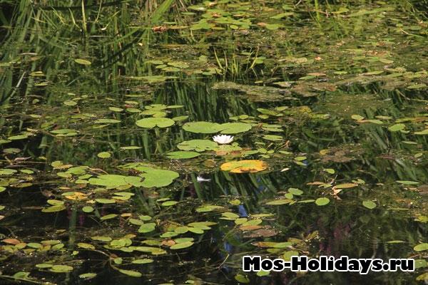Кувшинка в пруд в парке на Проспекте Мира