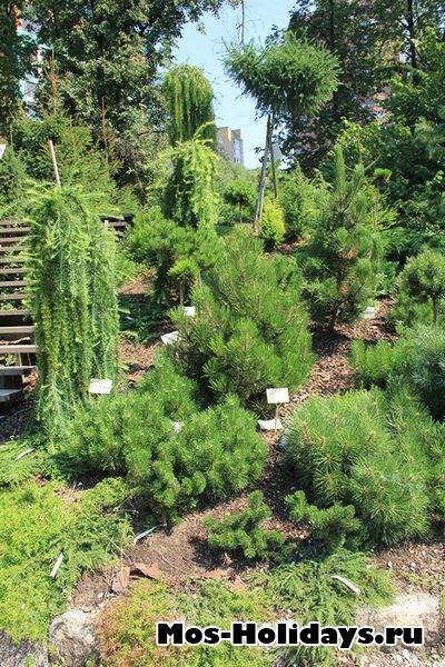 Хвойные деревья в Ботаническом саду МГУ на Проспекте Мира