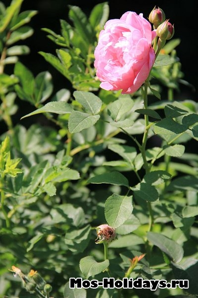 Роза в Ботаническом саду на Проспекте Мира