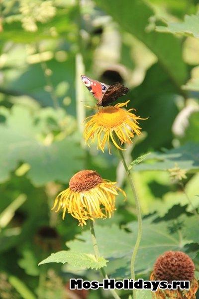 Бабочка на цветке в Аптекарском огороде на Проспекте Мира